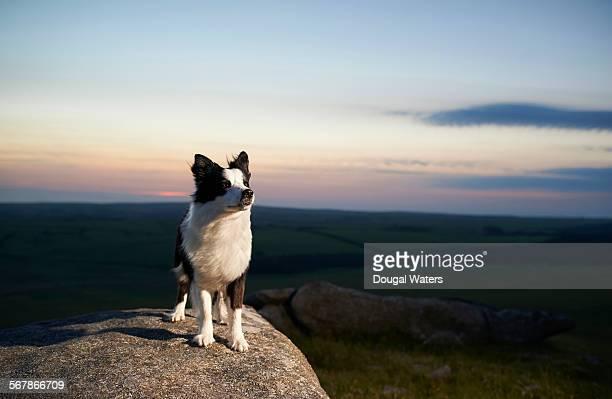 Border Collie dog looking toward light.