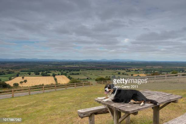 Border Collie Dog on a bench with Littleton Bog in the background landscape, Tipperary, Ireland