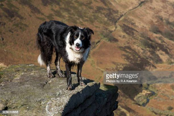 Border Collie dog on rocks high above a valley