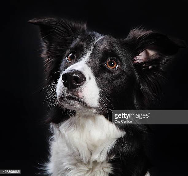 border collie dog - cris cantón photography stock pictures, royalty-free photos & images