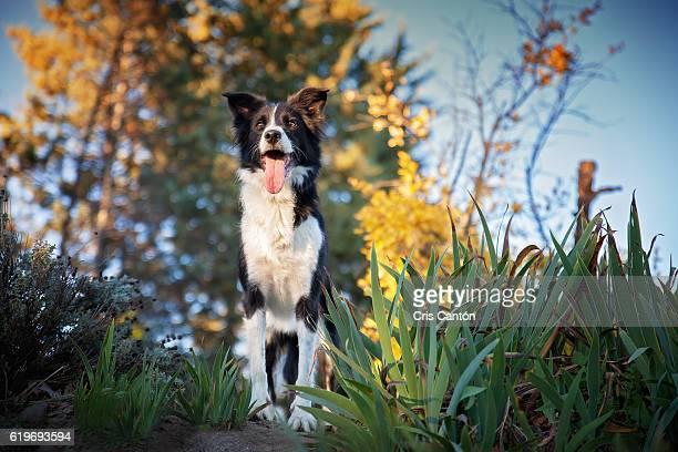 border collie dog - collie fotografías e imágenes de stock