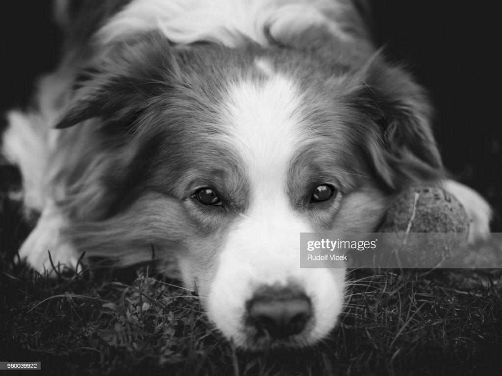 Border collie dog portrait : Stock-Foto
