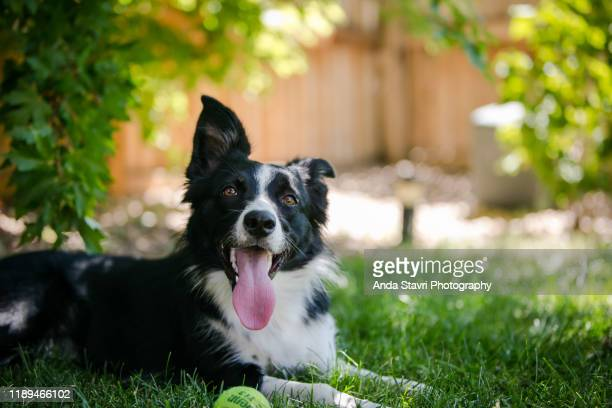 border collie dog relaxing in grass with tennis ball - panting stock pictures, royalty-free photos & images