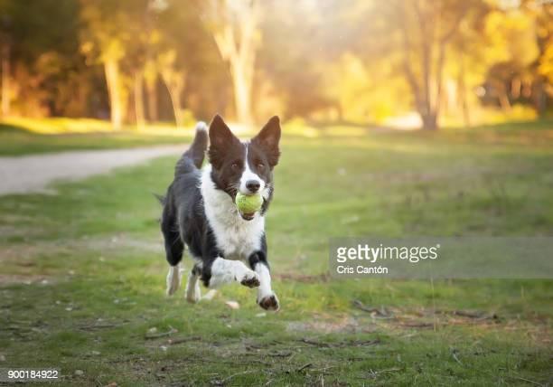 border collie dog running - border collie fotografías e imágenes de stock