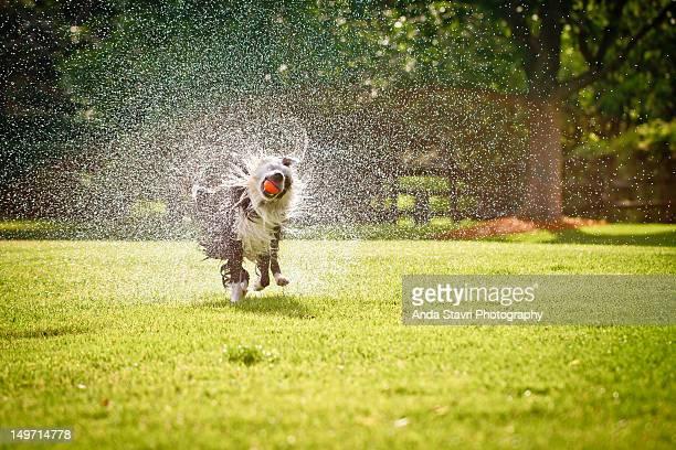 Border collie dog running through grass