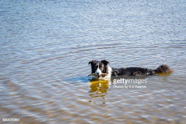 Border Collie dog swimming with stick in mouth