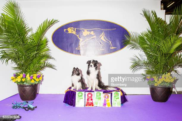 Border Collie dogs sit for a photograph after qualifying in the agility competition during the annual Meet the Breed event ahead of the 141st...