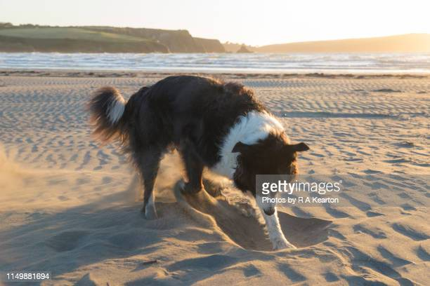 Border Collie enjoying a dig in the sand