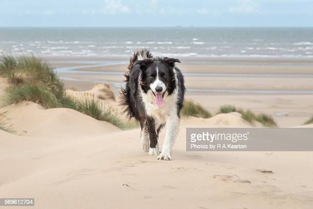 Border Collie enjoying the beach