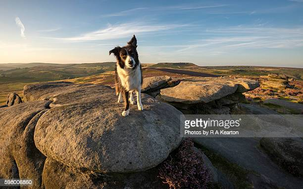Border Collie enjoying the great outdoors