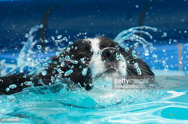 A border collie enjoys a swim during the dogs' bathing day in the public swimming pool in Korb near Stuttgart southwestern Germany on September 24...
