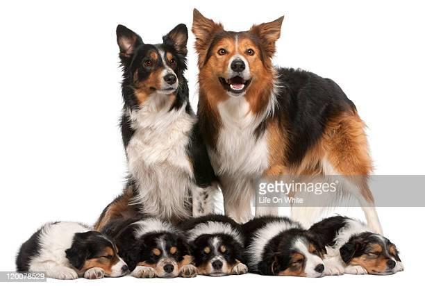 Border collie family