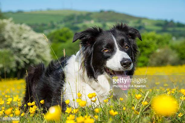 Border Collie in a field of buttercups