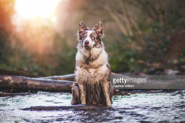 border collie in a river flow - caprice stock pictures, royalty-free photos & images