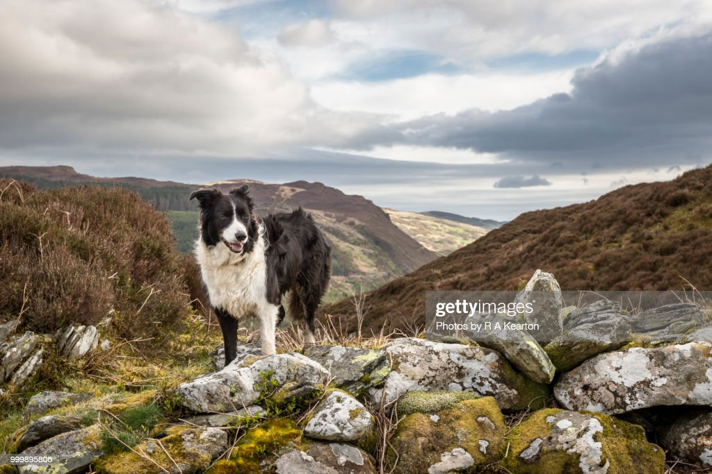 Border Collie in a rugged mountain landscape, North Wales : Stock Photo