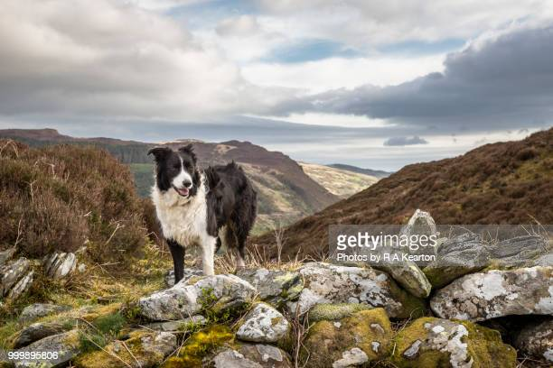 Border Collie in a rugged mountain landscape, North Wales