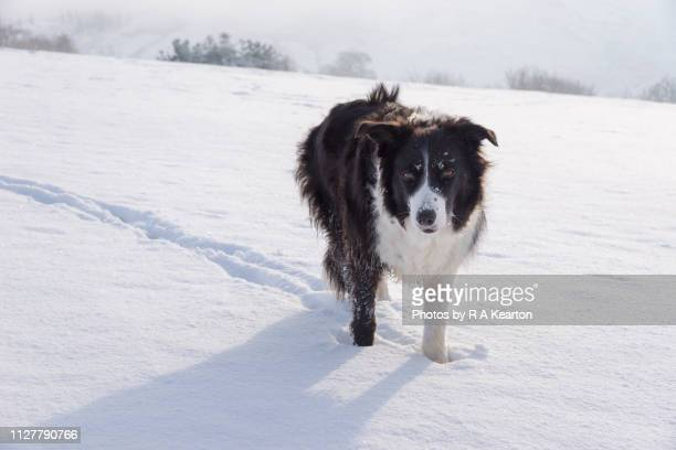 524 Border Collie Snow Photos And Premium High Res Pictures Getty Images