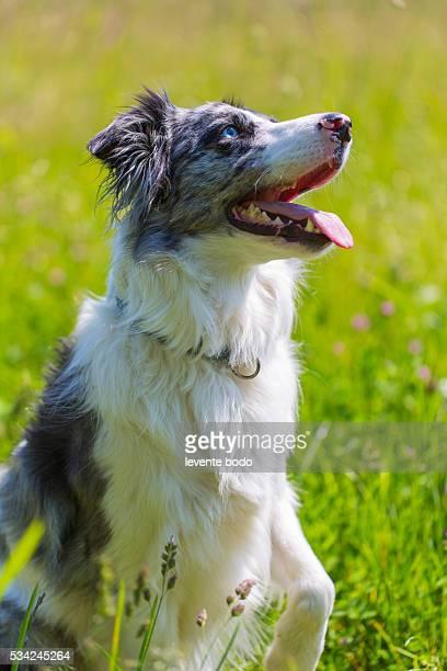 Border Collie in grass listening
