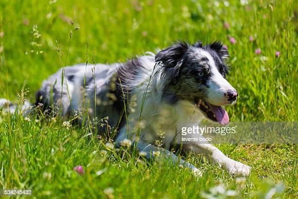 Border Collie in grass