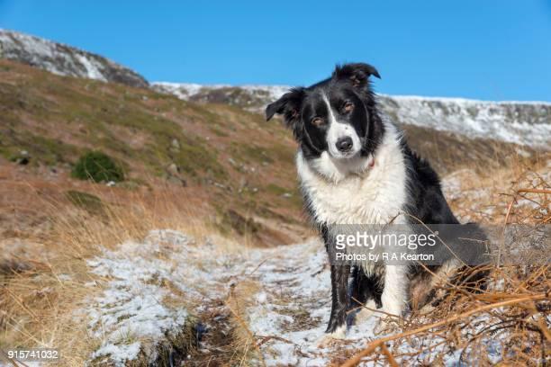 Border Collie in rugged winter landscape