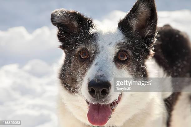 border collie in snow - terryfic3d stockfoto's en -beelden