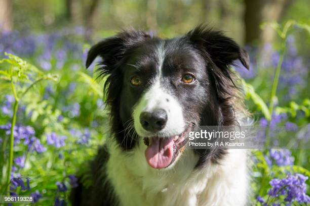border collie in sunny spring woodland - stockport stock-fotos und bilder