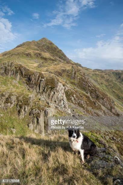 Border Collie in the mountains of Snowdonia, North Wales