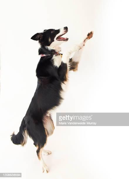 border collie jumping - border collie fotografías e imágenes de stock