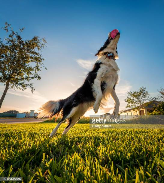 border collie leaping after ball - hairy balls stock photos and pictures