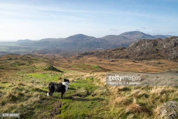 Border Collie looking at the view of Snowdonia landscape in autumn