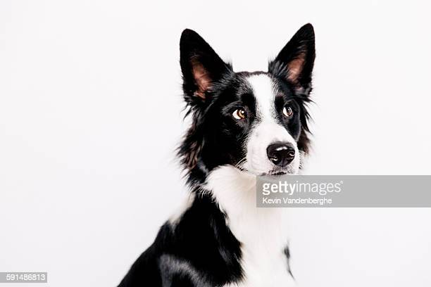 Border collie looking away from the camera
