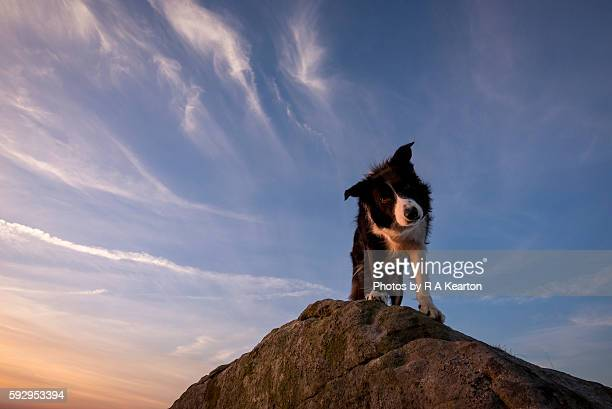 Border Collie looking down from a rock at sunset