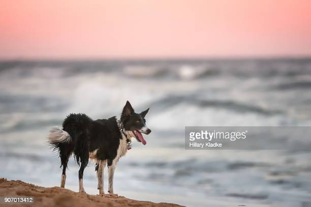 Border Collie looking out at ocean sunset