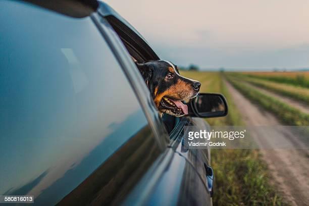 Border Collie looking through car window