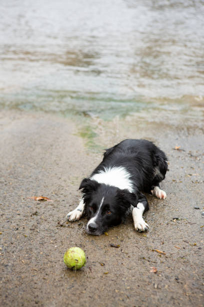 Border Collie lying down looking eagerly at tennis ball at beach