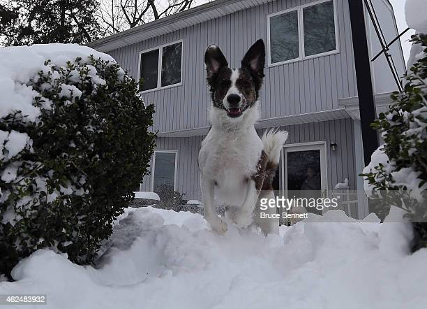 A border collie mix dog frolics in the accumulated snow on January 27 2015 in Old Bethpage New York The Long Island region received between twelve...