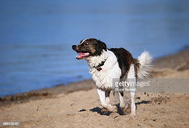 Border Collie mix dog plays at Coindre Hall on April 21 2014 in Huntington New York