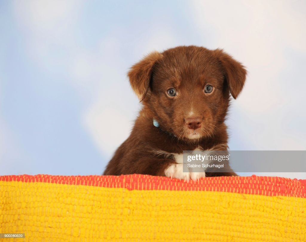 Border Collie Mixed Breed Puppy Chocolate Sitting High Res Stock Photo Getty Images