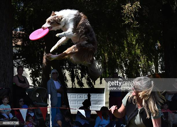 A Border Collie named 'Spring' soars as he attempts to catch a frisbee during a competition at the annual 'Woofstock 90210' dog show in Beverly Hills...