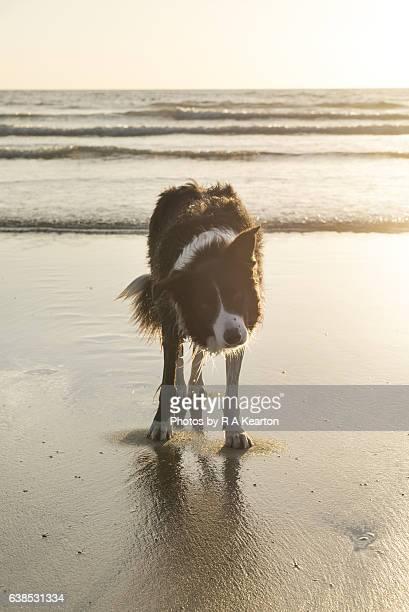 border collie on a beach in morning sunshine - border collie fotografías e imágenes de stock