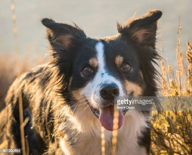 Border Collie on a hike