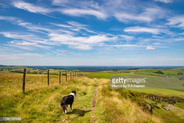 border collie on a hilltop on a hot summer day - day stock pictures, royalty-free photos & images