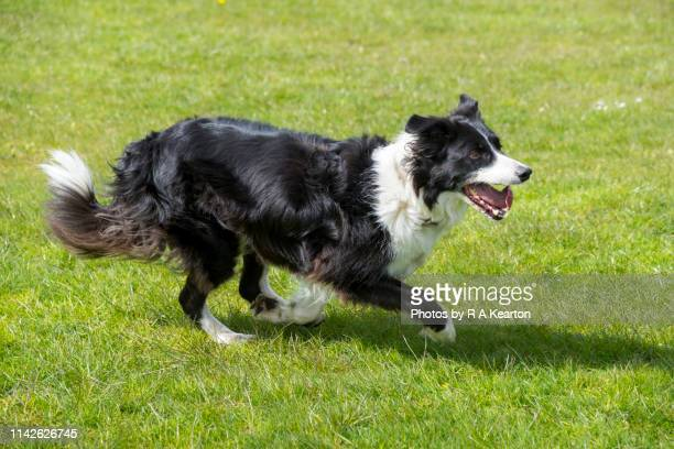 border collie on a sunny spring day - border collie stock pictures, royalty-free photos & images