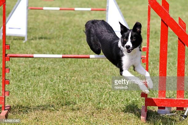 Border Collie on agility
