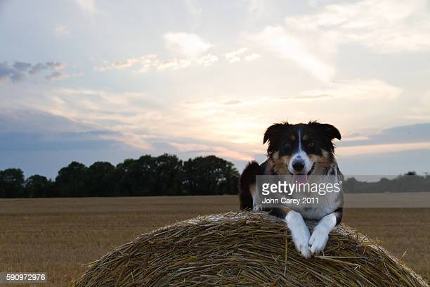 Border Collie on the Harvest