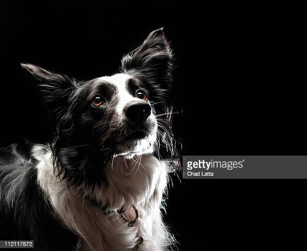 border collie - collie stock pictures, royalty-free photos & images