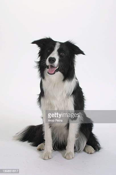 border collie - collie stock photos and pictures