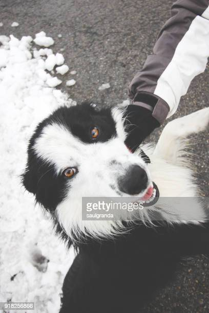 Border collie playing and looking at camera
