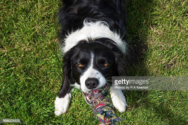 border collie playing with a tug rope - dogs tug of war stock pictures, royalty-free photos & images
