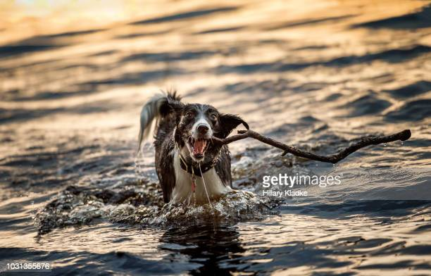 border collie playing with stick in water - dog tag stock photos and pictures